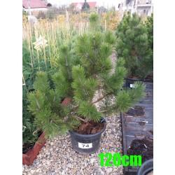 Pin Bosnian NR. 074 (Pinus Leucodermis)