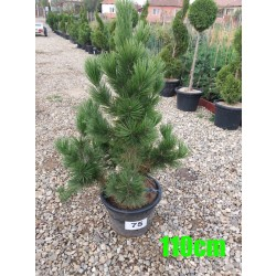 Pin Bosnian NR. 075 (Pinus Leucodermis)