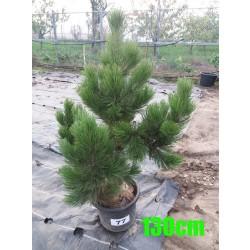 Pin Bosnian NR. 077 (Pinus Leucodermis)