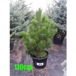 Pin Bosnian NR. 082 (Pinus Leucodermis)
