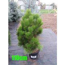 Pin Bosnian NR. 084 (Pinus Leucodermis)
