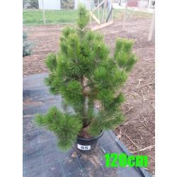 Pin Bosnian NR. 085 (Pinus Leucodermis)
