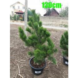 Pin Bosnian NR. 086 (Pinus Leucodermis)