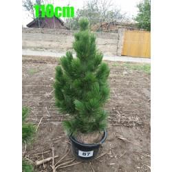 Pin Bosnian NR. 087 (Pinus Leucodermis)