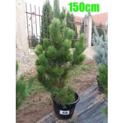 Pin Bosnian NR. 088 (Pinus Leucodermis)
