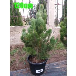 Pin Bosnian NR. 089 (Pinus Leucodermis)