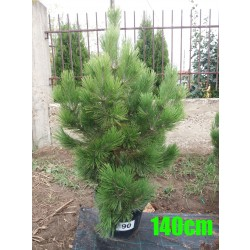 Pin Bosnian NR. 090 (Pinus Leucodermis)