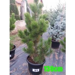 Pin Bosnian NR. 091 (Pinus Leucodermis)