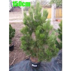 Pin Bosnian NR. 092 (Pinus Leucodermis)