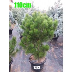 Pin Bosnian NR. 093 (Pinus Leucodermis)