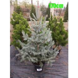 Molid Argintiu Hoopsii NR. 096 (Picea Pungens Hoopsii)