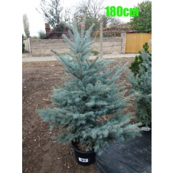 Molid Argintiu Hoopsii NR. 097 (Picea Pungens Hoopsii)