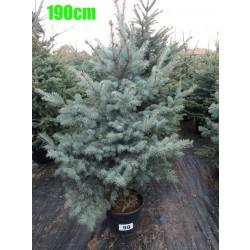 Molid Argintiu Hoopsii NR. 098 (Picea Pungens Hoopsii)
