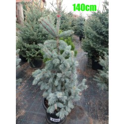 Molid Argintiu Hoopsii NR. 100 (Picea Pungens Hoopsii)