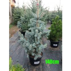 Molid Argintiu Hoopsii NR. 101 (Picea Pungens Hoopsii)