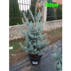 Molid Argintiu Hoopsii NR. 102 (Picea Pungens Hoopsii)