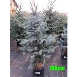 Molid Argintiu Hoopsii NR. 103 (Picea Pungens Hoopsii)