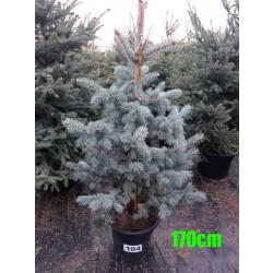 Molid Argintiu Hoopsii NR. 104 (Picea Pungens Hoopsii)