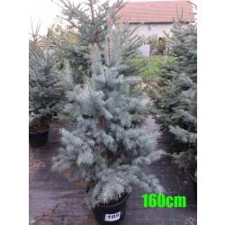Molid Argintiu Hoopsii NR. 105 (Picea Pungens Hoopsii)