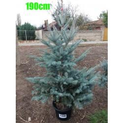 Molid Argintiu Hoopsii NR. 108 (Picea Pungens Hoopsii)