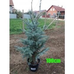 Molid Argintiu Hoopsii NR. 109 (Picea Pungens Hoopsii)