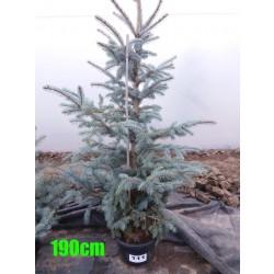 Molid Argintiu Hoopsii NR. 111 (Picea Pungens Hoopsii)