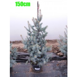 Molid Argintiu Hoopsii NR. 113 (Picea Pungens Hoopsii)