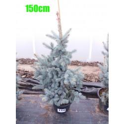 Molid Argintiu Hoopsii NR. 114 (Picea Pungens Hoopsii)