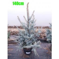 Molid Argintiu Hoopsii NR. 115 (Picea Pungens Hoopsii)