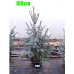 Molid Argintiu Hoopsii NR. 116 (Picea Pungens Hoopsii)