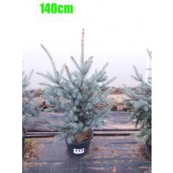 Molid Argintiu Hoopsii NR. 117 (Picea Pungens Hoopsii)