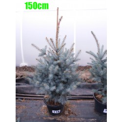 Molid Argintiu Hoopsii NR. 118 (Picea Pungens Hoopsii)