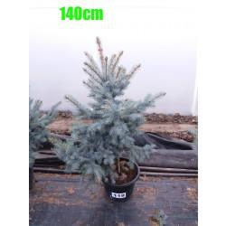 Molid Argintiu Hoopsii NR. 119 (Picea Pungens Hoopsii)