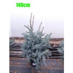 Molid Argintiu Hoopsii NR. 120 (Picea Pungens Hoopsii)