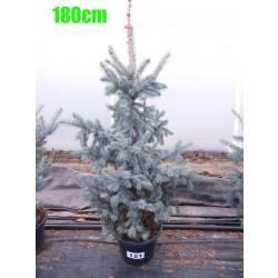 Molid Argintiu Hoopsii NR. 121 (Picea Pungens Hoopsii)