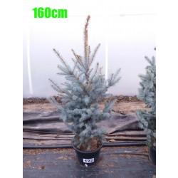 Molid Argintiu Hoopsii NR. 122 (Picea Pungens Hoopsii)