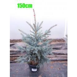 Molid Argintiu Hoopsii NR. 123 (Picea Pungens Hoopsii)