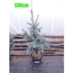 Molid Argintiu Hoopsii NR. 124 (Picea Pungens Hoopsii)