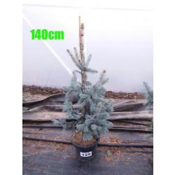 Molid Argintiu Hoopsii NR. 125 (Picea Pungens Hoopsii)