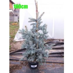 Molid Argintiu Hoopsii NR. 126 (Picea Pungens Hoopsii)