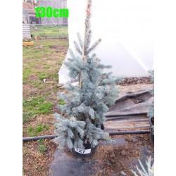 Molid Argintiu Hoopsii NR. 127 (Picea Pungens Hoopsii)