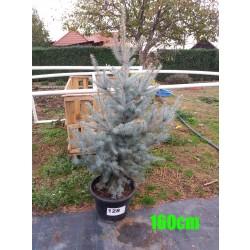 Molid Argintiu Hoopsii NR. 128 (Picea Pungens Hoopsii)