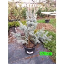 Molid Argintiu Hoopsii NR. 129 (Picea Pungens Hoopsii)