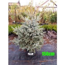 Molid Argintiu Hoopsii NR. 130 (Picea Pungens Hoopsii)