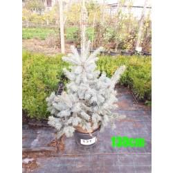 Molid Argintiu Hoopsii NR. 131 (Picea Pungens Hoopsii)