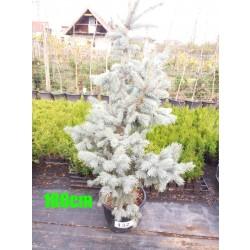 Molid Argintiu Hoopsii NR. 132 (Picea Pungens Hoopsii)
