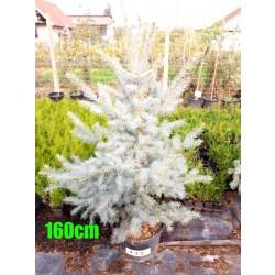 Molid Argintiu Hoopsii NR. 133 (Picea Pungens Hoopsii)