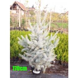 Molid Argintiu Hoopsii NR. 135 (Picea Pungens Hoopsii)