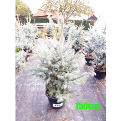 Molid Argintiu Hoopsii NR. 136 (Picea Pungens Hoopsii)