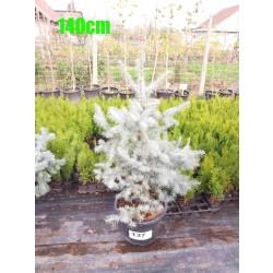 Molid Argintiu Hoopsii NR. 137 (Picea Pungens Hoopsii)